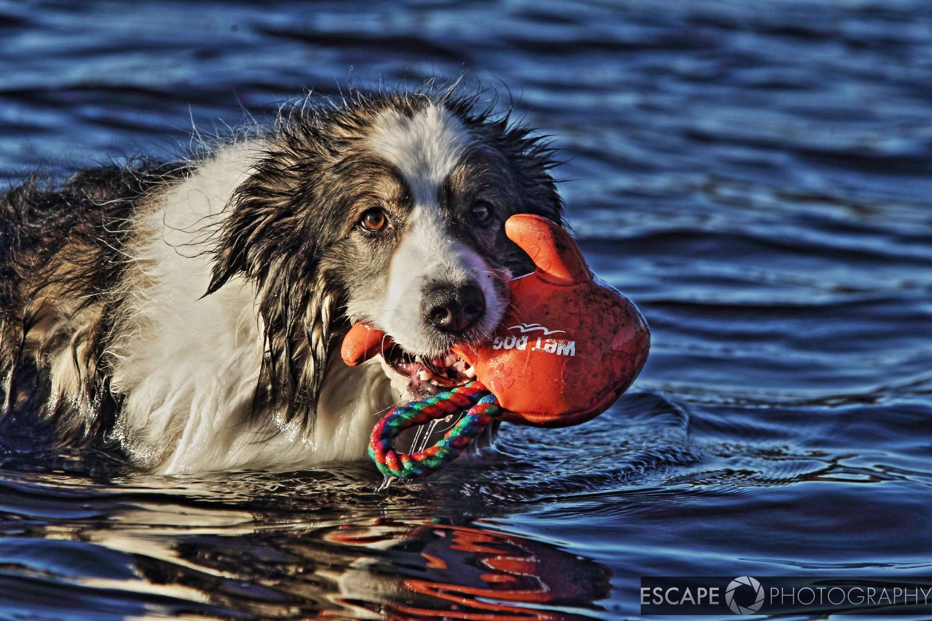 Wet Dog Toy Orange Fish retrieved
